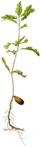 Quercus lobata by Marilyn Danny Swanson
