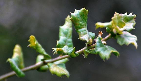 Quercus durata scrub oak