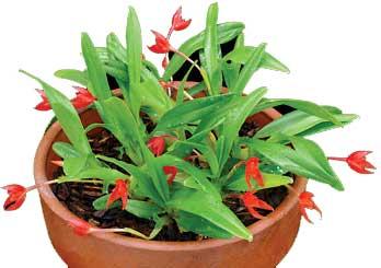 Maxillaria croceorubens