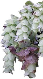Oreganum rotundifolium