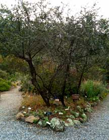 Ceanothus cv. Berkeley Skies