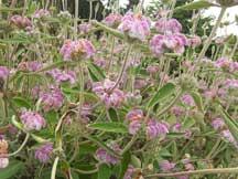 purple phlomis