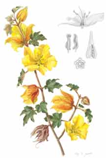 Fremontodendron californicum by Eliza K. Jewett
