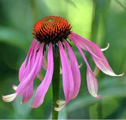 Echinacea Sp by Melanie Hofmann