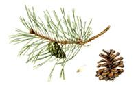 Pinus Silvestris by Lee McCaffree