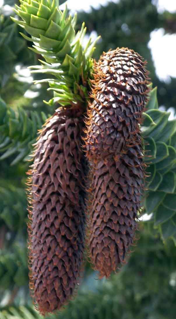 monkey puzzle male cone