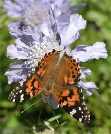 monarch butterfly with scabiosa J Brahms