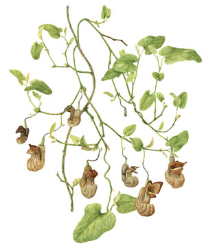 California pipevine (Aristolochia californica)