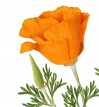 California poppy (Eschscholzia californica) Watters