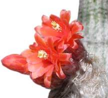 oreocereus doelzianus