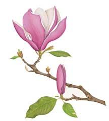 magnolia x soulangia by Peggy Irvine