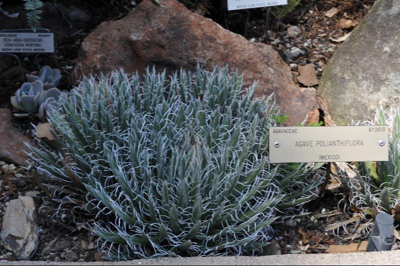 agave polianthiflora