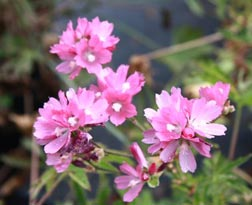 Kenwood Marsh checkerbloom (Sidalcea oregana ssp. valida)