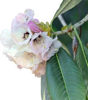 rhododendron protistum hofmann
