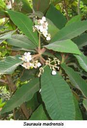 Saurauia madrensis