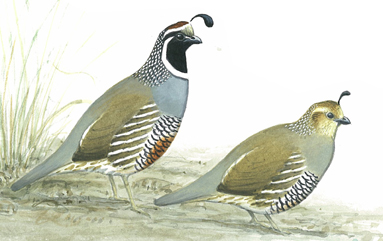 California Quail (Callipepia californica)