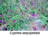 cuphea