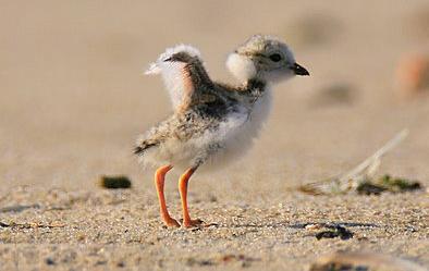Plover Chick- Horiz crop