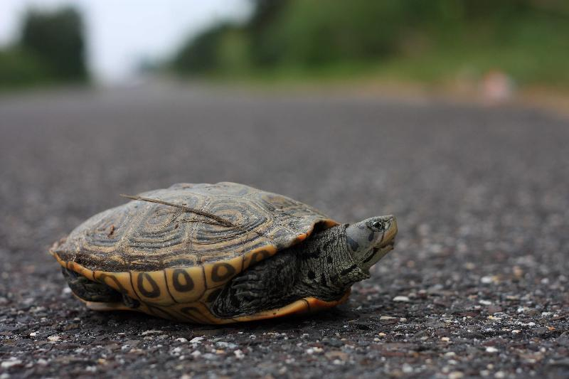 Terrapin on Great Bay Blvd.