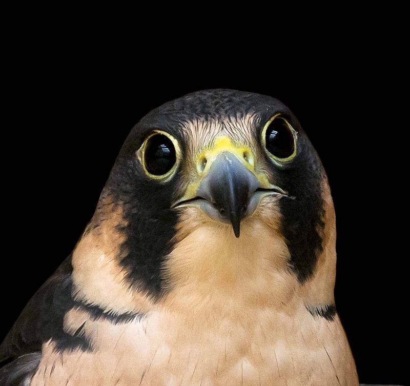 peregrine falcon portrait (c) Eric Sambol