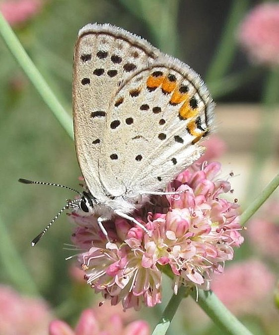 Blue on pink buckwheat
