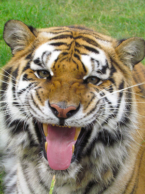 smiling tiger pictures | Thread: TIGER being called for dinner ...