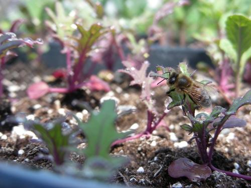 honeybee kale