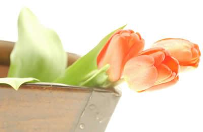 pale-pink-tulips.jpg