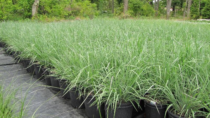 Ornamental grass inventory explosion for Blue ornamental grass varieties