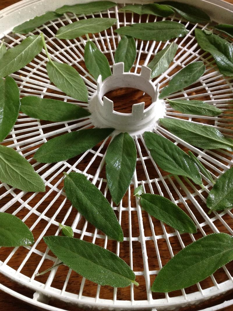 Dehydrator with Sage leaves