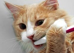 Feline_Dental