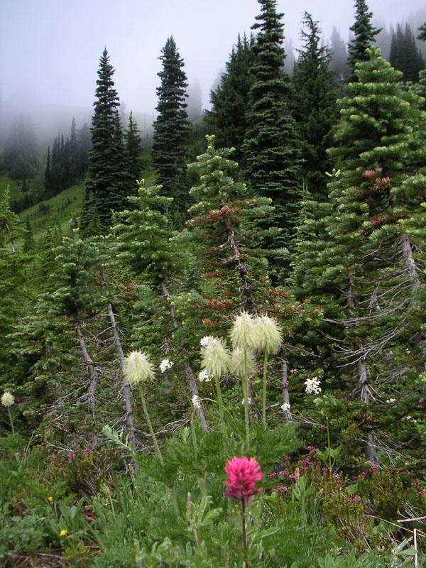 Rainier Meadow