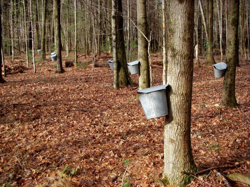 maple tapping - trees