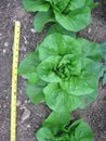 Berry Patch Luscious Lettuce FB