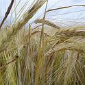 rye seed public domain