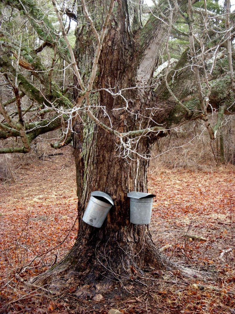 maple tree and syrup buckets