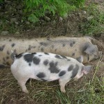 pigs Caroline Alexander