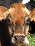 cricket creek cow close up of head