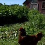 Mighty Food Farm Chicken