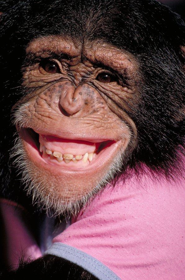 Chimp or Chump ?