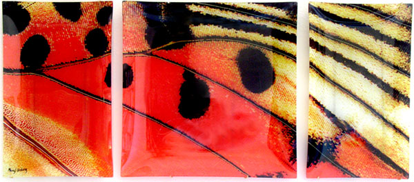 Butterfly Triptych: Charazes Zingha