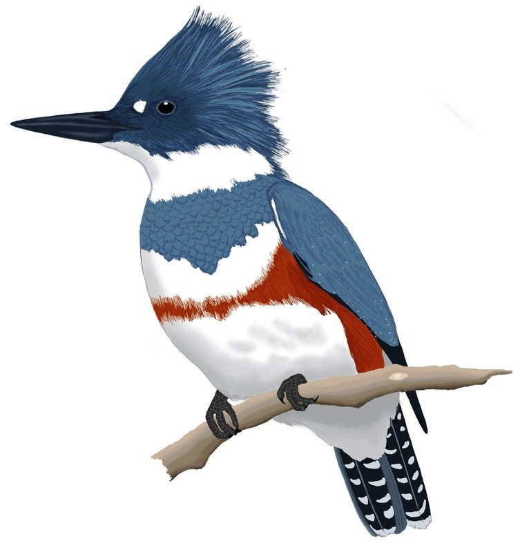 Kingfisher Right