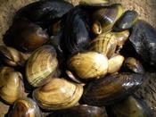 Mussel Pile