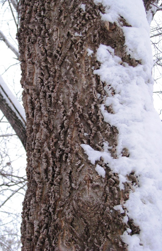 Hackberry Tree GStark