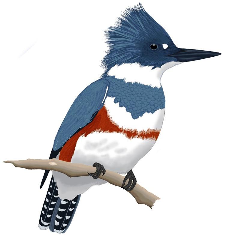 Kingfisher Left