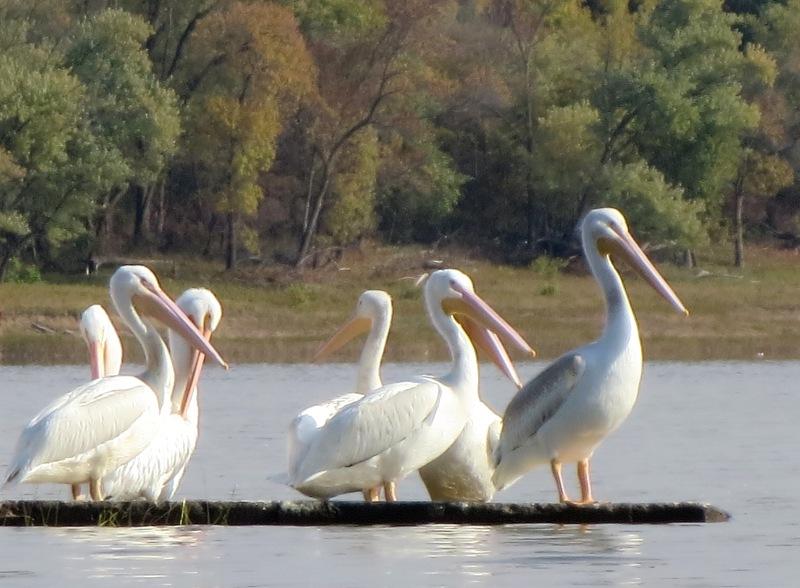 Pelicans Coralville Sm Group Lois Albrecht