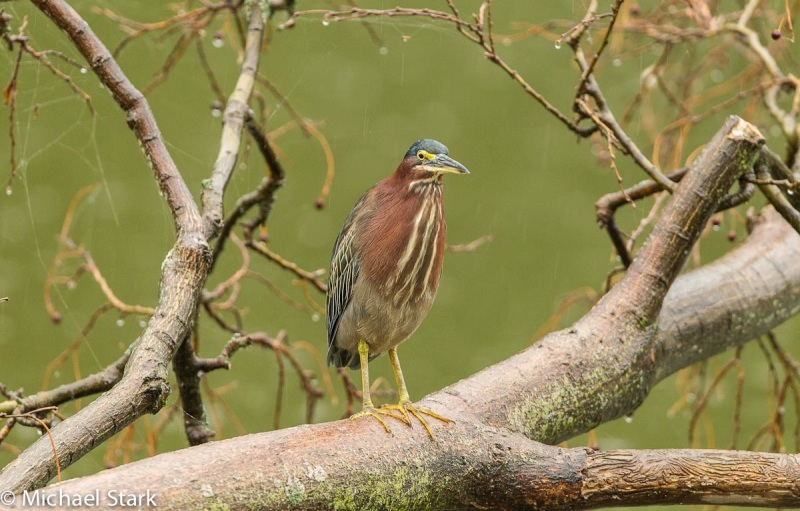 Green Heron 2 Mike Stark