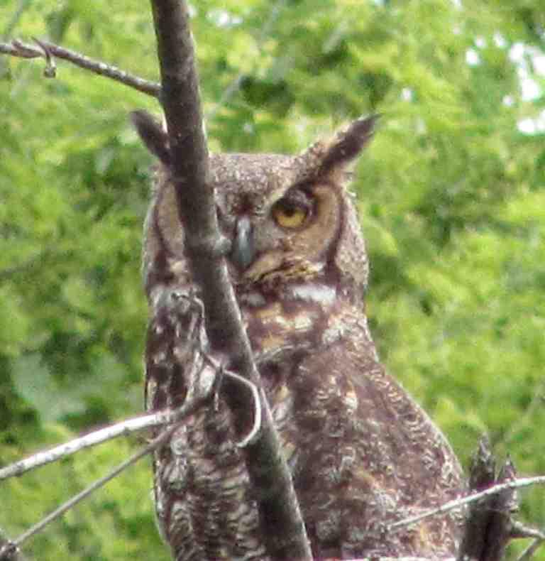 Great Horned Owl Jim Pease