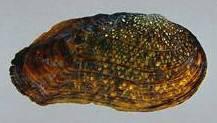 Mussel PG
