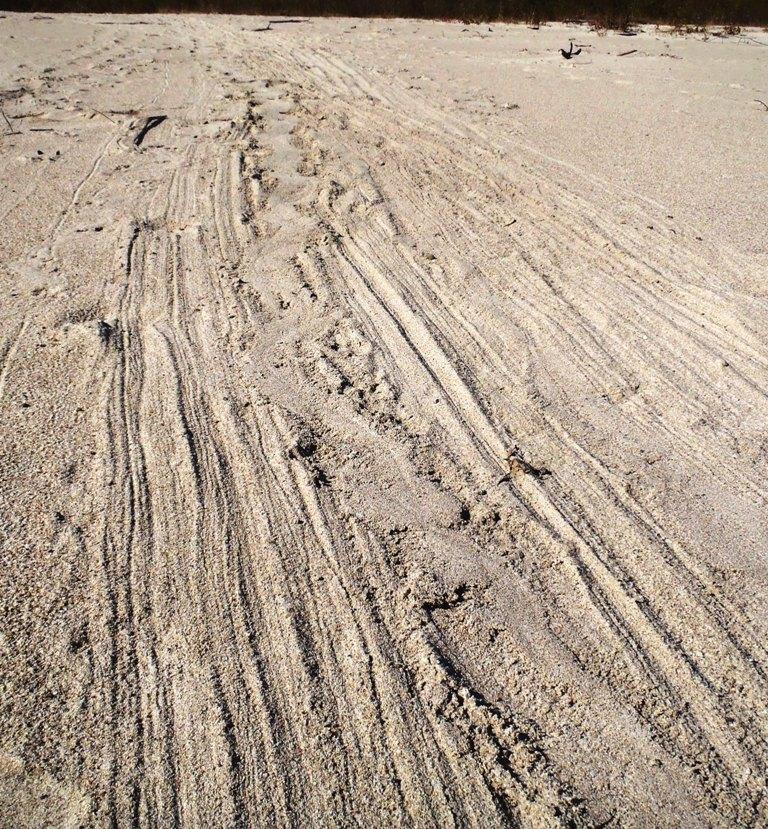 Beaver Tracks on Sandbar Cedar R G.Stark